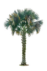 palm tree isolated include clipping path on white background