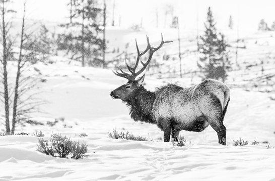 Elk or wapiti (Cervus canadensis), Yellowstone National Park, Wyoming, USA, America