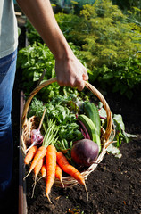 Basket with ripe organic vegetables carrot and fresh beetroot in hands