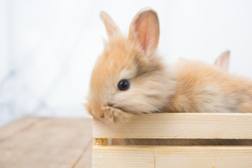 Brown cute baby rabbit on wood table. Adorable young bunny in lovely action. Famous small pet. Wall mural