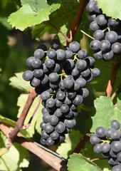 Dornfelder, Rotwein, Weintraube