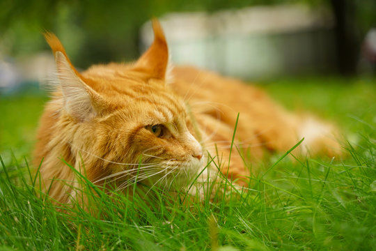 beautiful big red maine coon cat with harness and leash lying on the green summer grass