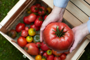 Big ripe organic beef tomato holded in hands