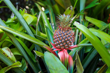 Young pineapple growing on bush