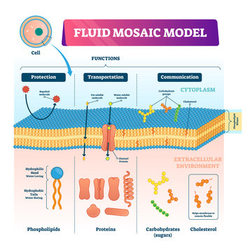 Fluid mosaic model vector illustration. Cell membrane structure infographic