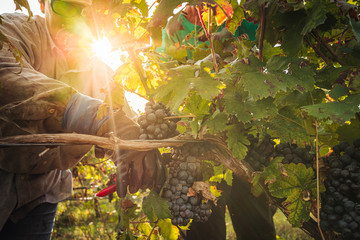 Fotorolgordijn Wijngaard PUGLIA / ITALY - SEPTEMBER 2019: Seasonal harvesting of Primitivo grapes in the vineyard