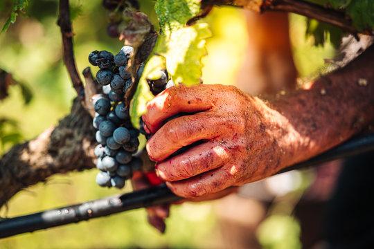 PUGLIA / ITALY -  SEPTEMBER 2019: Seasonal harvesting of Primitivo grapes in the vineyard