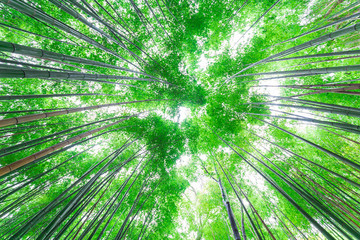 Fotobehang Bamboo Green bamboo forest uprisen view sun light in Kyoto
