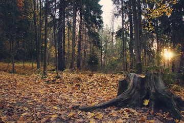 Dark stump in the park with yellow fallen leaves in autumn, the sun shines through the trees