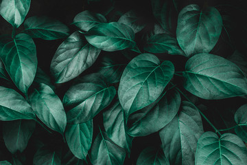 Wall Mural - tropical leaves texture, abstract green leaves and dark tone process, nature pattern background
