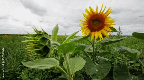 Fototapete Beautiful field of sunflowers in the wind on a bright cloudy summer day with sky on farm. Scenic landscape agricultural land. Beauty nature, agriculture.