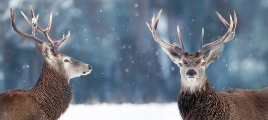 Noble deer male in winter snow forest. Winter christmas banner. Copy space.