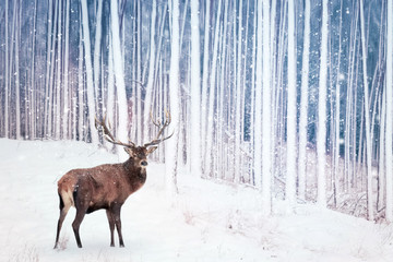Fototapete - Noble deer male in winter snow forest.
