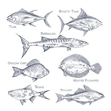 Set of isolated fish sketch for shop or store,menu