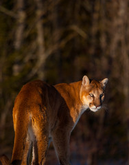 Deurstickers Puma Cougar (Puma concolor), also commonly known as the mountain lion, puma, panther, or catamount