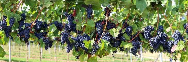 Blaue Weintrauben an Rebstock, Panoramabild