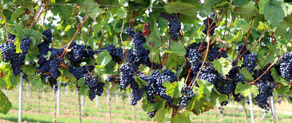Blue grapes on vine, panoramic image