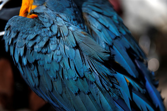Feathers of macaw Picasso are seen as he stands on his keeper's shoulder, Eduardo Albornoz, prior a bicycle ride in Caracas