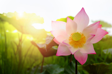 Blooming of lotus flower with the background of green leaves in
