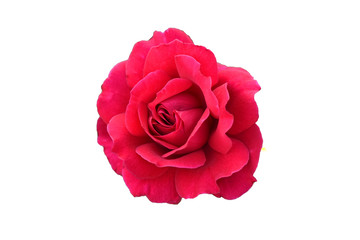 Foto op Canvas Roses Red rose on a white background. Isolated flower.