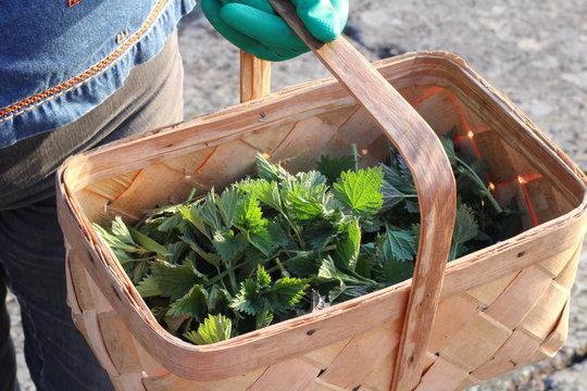 Nettle leaves in a basket, herbal superfood