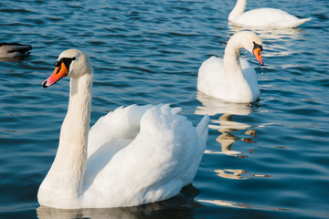 swan and pond, lake photo. Beautiful picture, background, wallpa