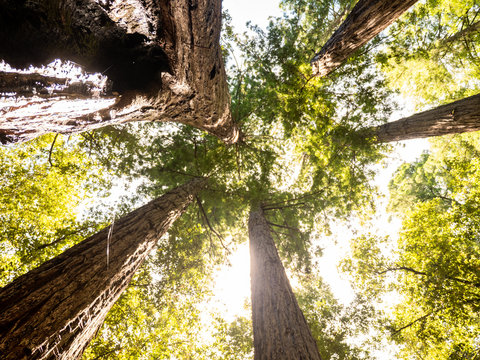 Looking up through tall redwood grove