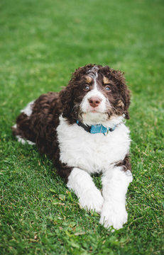 Close up of cute bernedoodle puppy laying on the grass outside.