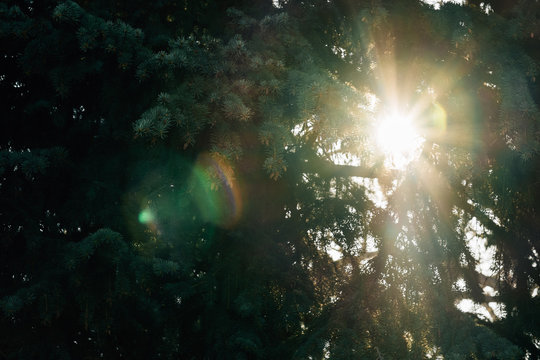 sunflare through evergreen trees