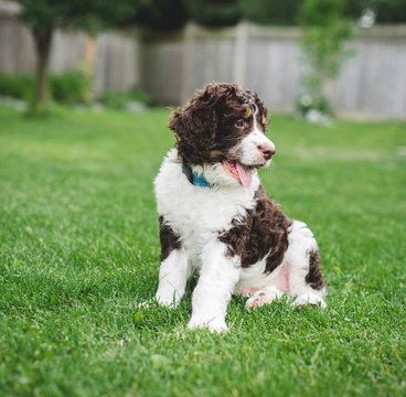 Adorable bernedoodle puppy sitting on the grass in a backyard.
