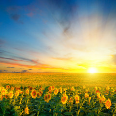 Poster Zonnebloem Field of blooming sunflowers and sunrise.