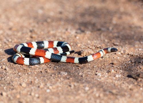 Arizona Coral Snake, Southern Arizona, Sonora Desert, USA