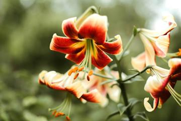 Close up of lily stamens and petals