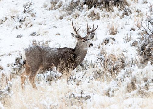 Whitetail Deer Buck, Yellowstone National Park, Wyoming, USA