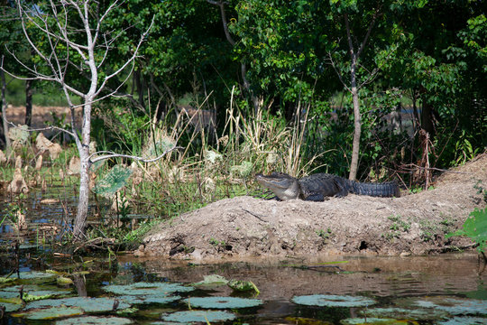 An American alligator suns on the banks of a lake in East Texas.