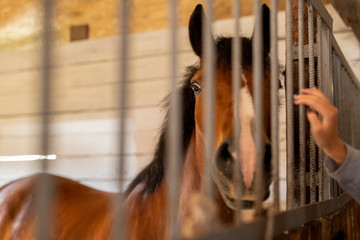 Purebred brown horse standing behind bars inside stable or barn