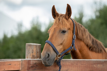 Muzzle of calm purebred brown racehorse by fence in rural environment