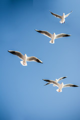 Seagulls are  flying in a sky