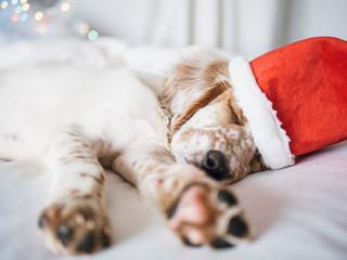 christmas portrait of english setter puppy