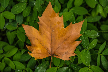 Maple leaf over green leafs