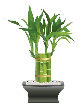 Lucky Bamboo with Leafy Tops in Dark Pot with White Rocks