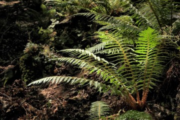 Ferns In The Darkness Of Relict Forest