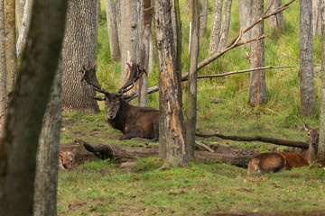 Fototapete - European red deer (Cervus elaphus) in rut, it is fourth  the largest deer species