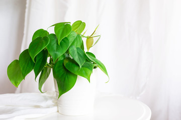 house plant heart leaf Philodendron vine in white pot