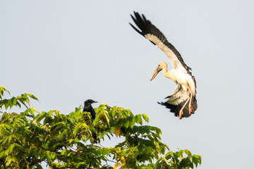 Indian Open bill stork in flying and going to rest on a tree