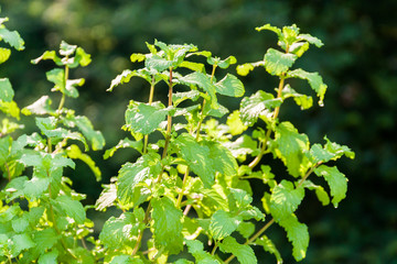 Fresh green mint plants with green leaves in natural sunlight with green out of focus background