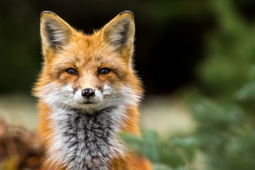 Red Fox - Vulpes vulpes