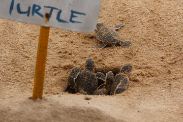 Foto op Plexiglas Schildpad baby sea turtle hatching. One day old sea turtles in Hikkaduwa in the turtle farm.,Sri Lanka . Loggerhead baby sea turtle