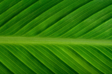 Close up green leaf line for Background,selective focus