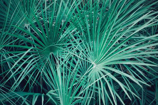 Closeup of a palmetto serenoa leaves. Electric green background